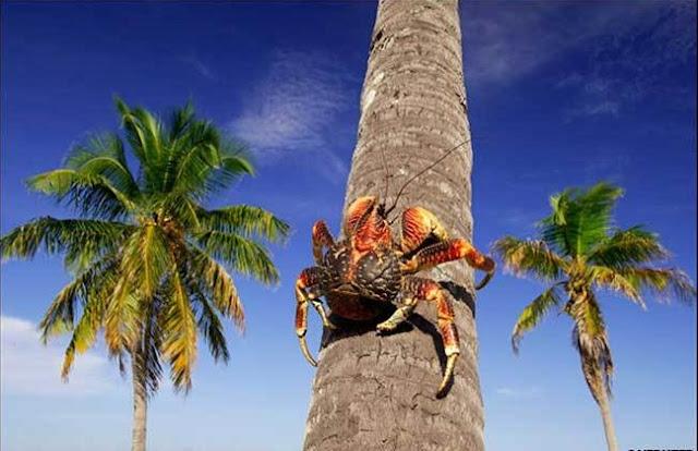 Assustadores para quem se depara com eles, esse são os maiores caranguejos terrestres do mundo!  Chegando a medir 1 metro de envergadura, os caranguejos-do-coqueiro são tidos como os gigantes do coqueiro.