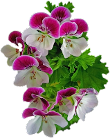Flores pink png