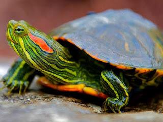kura-kura-menjadi-jinak.jpg