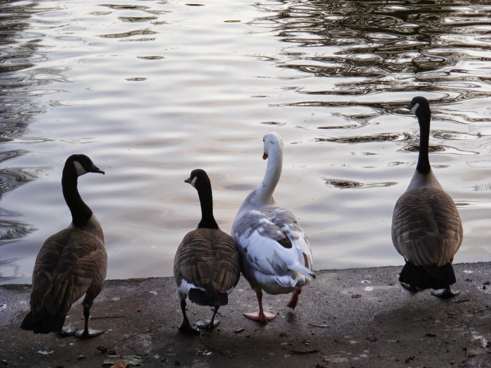 canada goose birmingham