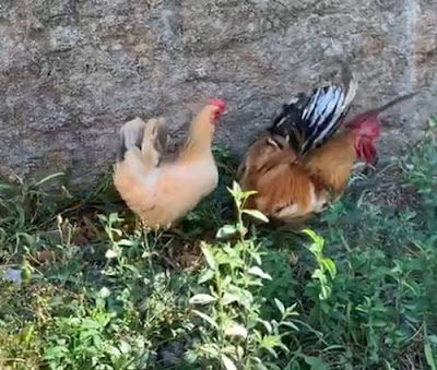 Galo e galinha filho austista
