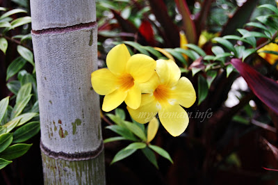 Simplymarrimye's Yellow is the Color of MIND and Intellect / Golden Trumpet (Allamanda Cathartica) - image 4