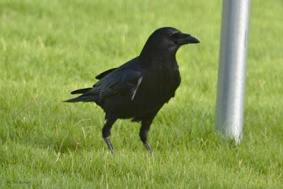 American Crow over El Presidio Courtyard