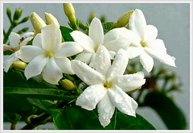 Mengenal Ciri Ciri Bunga Melati Ciri Umum Khusus