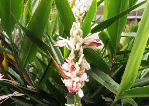 Hoa cây Riềng - Alpinia officinarum - Nguyên liệu làm thuốc Chữa Bệnh Tiêu Hóa