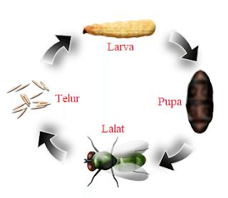 Kitaran Hidup Lalat