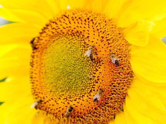 Zahlreiche Bienen sitzen auf einer Sonnenblume