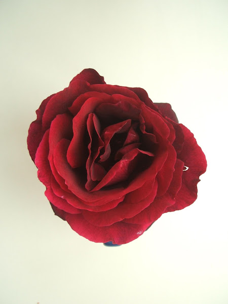 homegrown rose used in a sensory activity aimed at adults living with Dementia