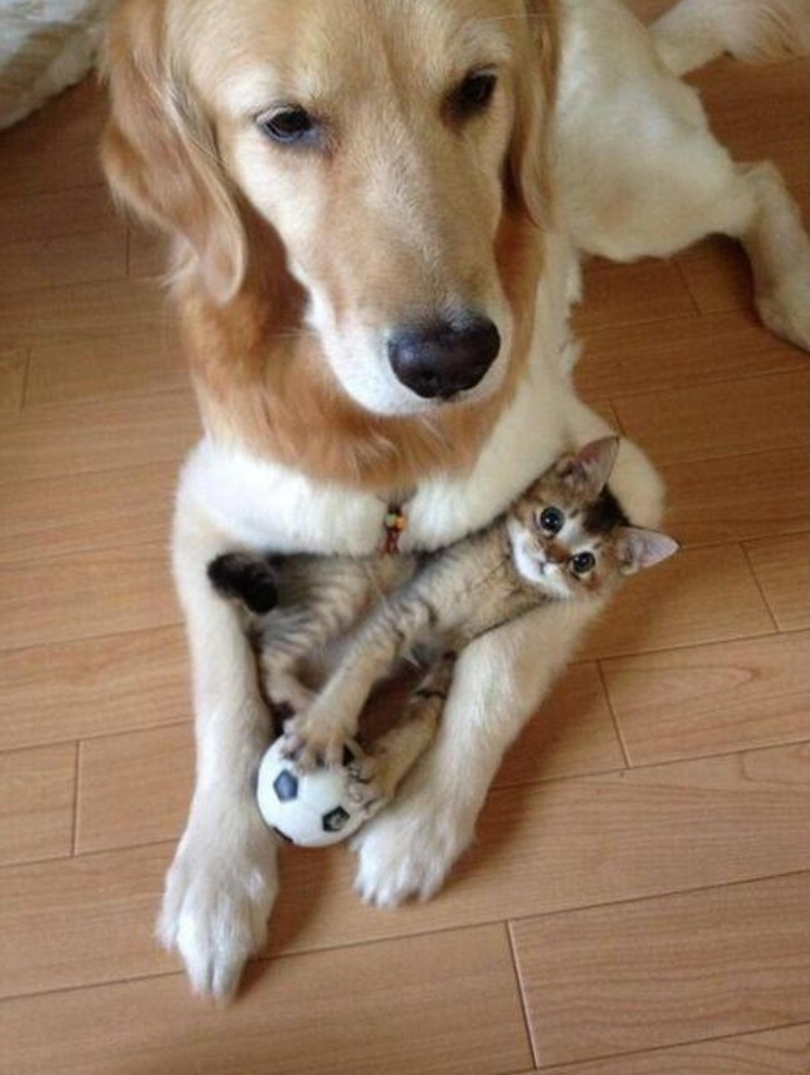 7. Some cats even get along with dogs and are entrusted to them for babysitting.