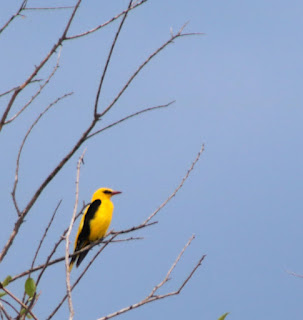 A very large, and not very shy, Golden Oriole