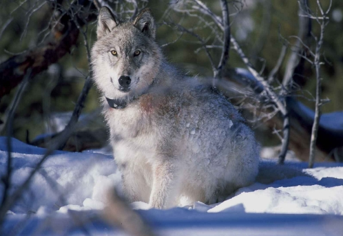 Animals And Pets, Wolf, Wildlife,