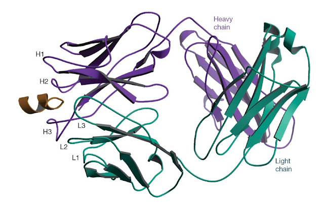The structure of an antibody bound to a peptide corresponding to a linear epitope