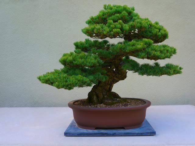 Holisticocromocaio - Como cuidar bonsais ...