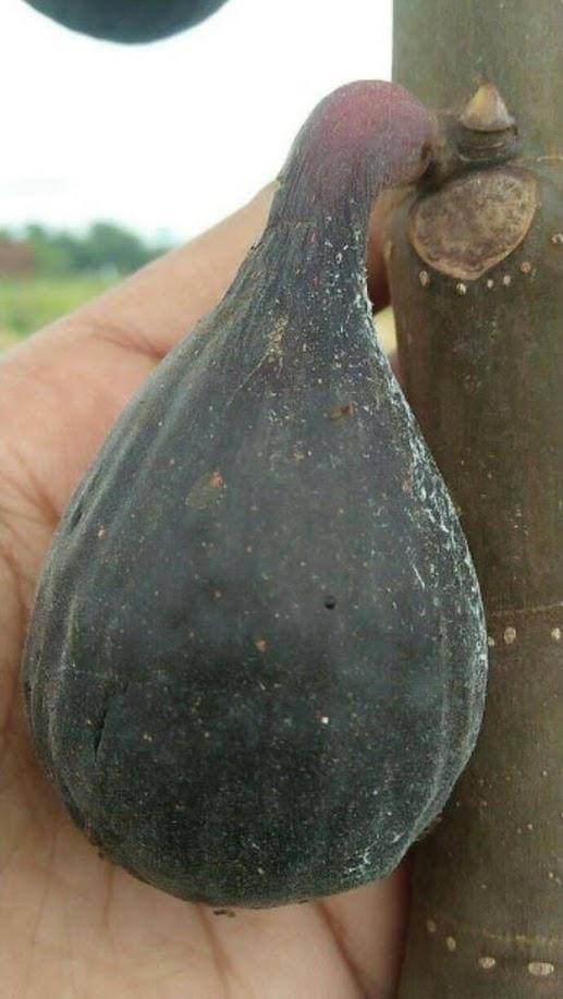 Bibit Buah Tin jenis Black LDA Padang