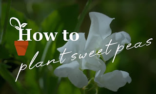 how to plant Sweet Pea