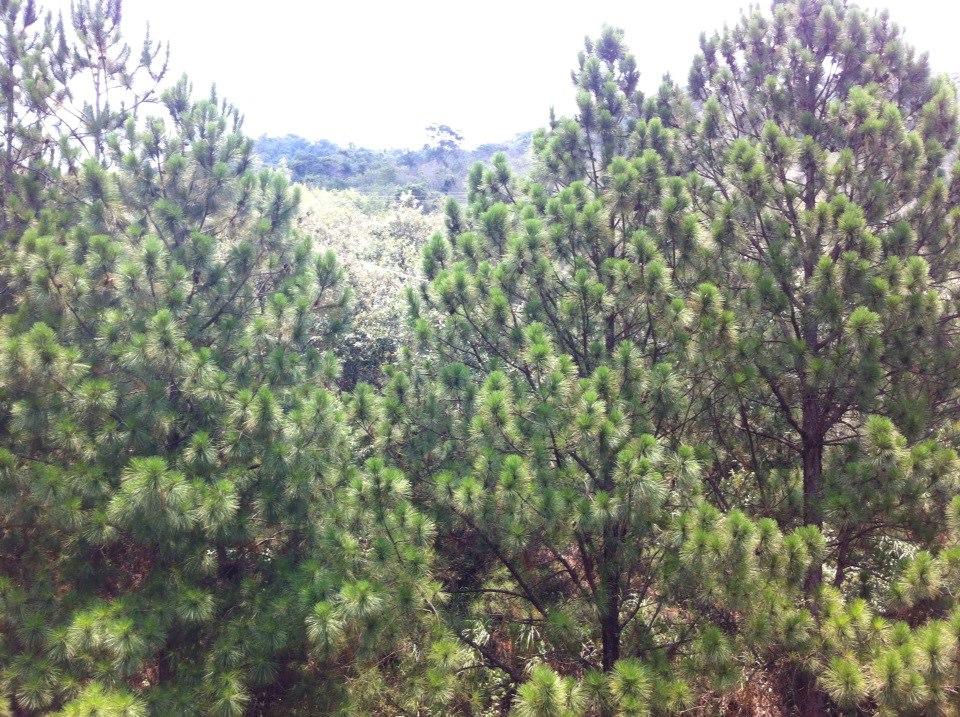 pinheiro pine socorro são paulo interior