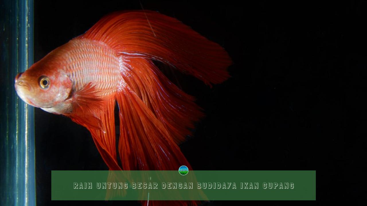 Raih Untung Besar Dengan Budidaya Ikan Cupang