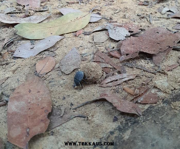 Beetle Rolling Dung Bukit Beruang Melaka