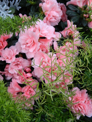 Allan Gardens Conservatory 2017 Christmas Flower Show pink azaleas and Asparagus ferns by garden muses-not another Toronto gardening blog