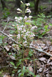 Penstemon australis