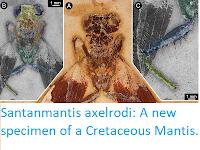 https://sciencythoughts.blogspot.com/2017/10/santanmantis-axelrodi-new-specimen-of.html