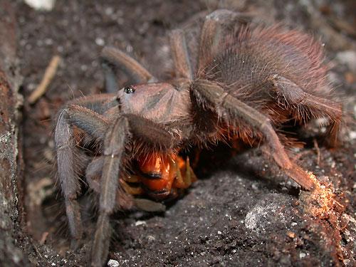 centipede eaten by tarantula spider
