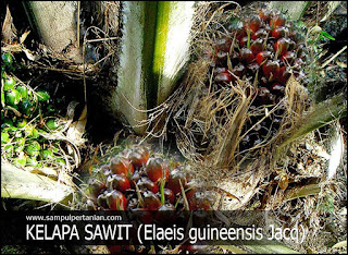 Klasifikasi dan Morfologi Tanaman Kelapa Sawit (Elaeis guineensis Jacq)
