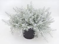 A HELICHRYSUM PETIOLARE – aka Licorice Plant in a black pot.