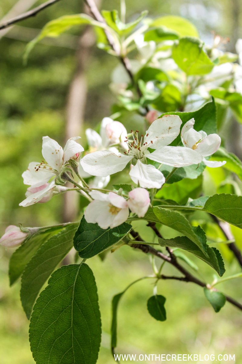 Apple tree blossoms | On The Creek Blog