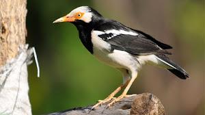 Caraputu Com Media Refrensi Harga Burung Mp3 Burung Perawatan Burung Kicau Jalak