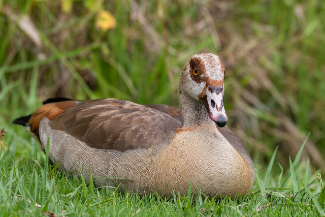 Egyptian Goose Kirstenbosch National Botanical Garden