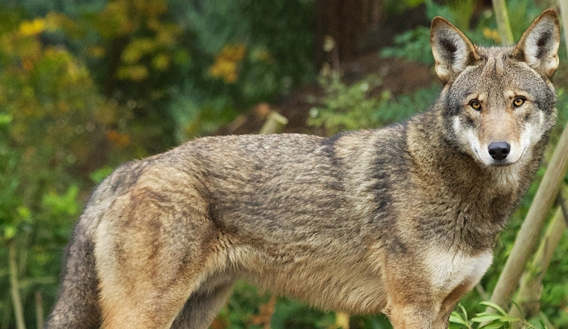 White Wolf : Federal judge blasts Fish and Wildlife Service