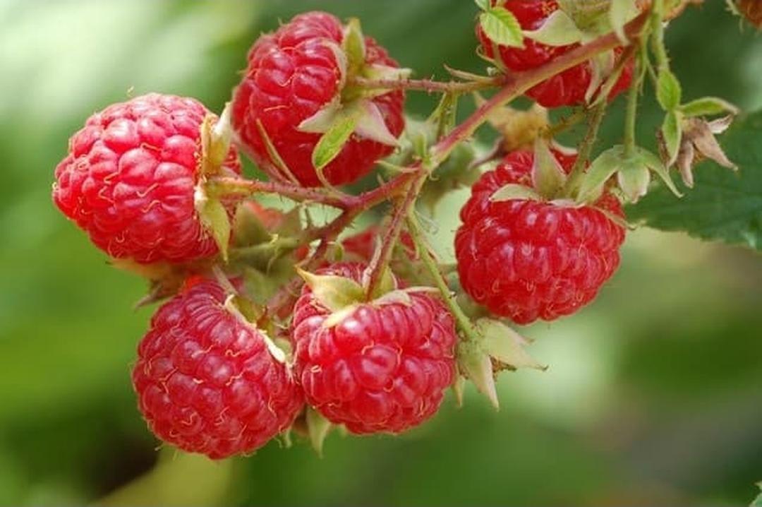 Stok banyak! Bibit pohon buah raspberry arbei bibit unggul Kota Malang #bibit buah genjah