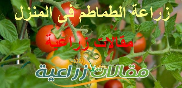زراعة الطماطم في أصيص بالمنزل - مقالات زراعية