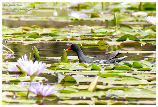 https://bioclicetphotos.blogspot.fr/search/label/Gallinule%20poule-d%27eau%20-%20Gallinula%20chloropus%20MAY