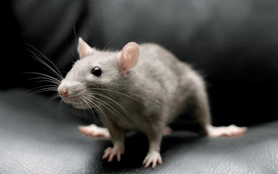 Significado de soñar con ratones