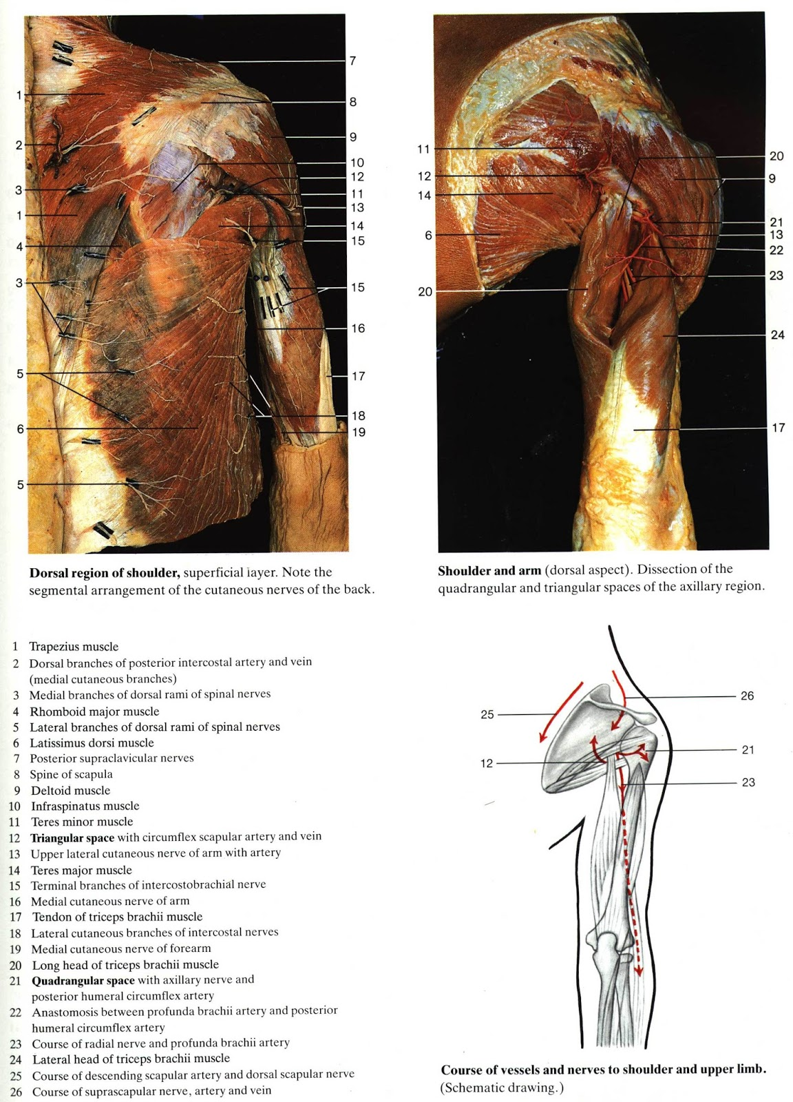 Rohen Anatomy Atlas 8353514 Togelmayafo