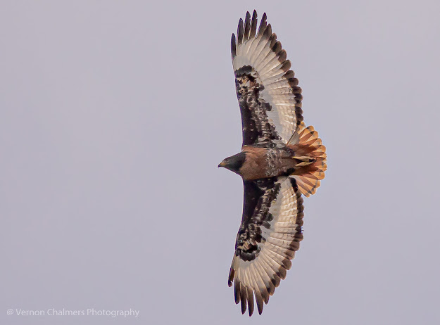 Jackal Buzzard in Flight  - Woodbridge Island (EOS R6 / RF 800mm f/11 IS STM Lens