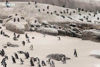 Die Kolonie der Brillenpinguine am Boulders Beach in Simons Town, Kapstadt, Südafrika. WELTREISE Must have