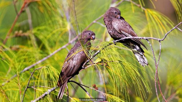 The highly endangered black parrot builds its nest in the coco de mer tree