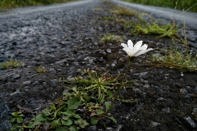 lonely daisy in the middle of the road