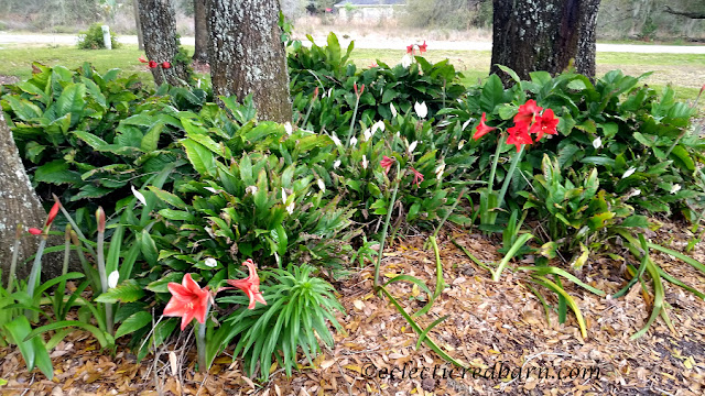 Blooming Plants. Share NOW. #plants #bloomingplants #azaleas #amaryllis #eclecticredbarn