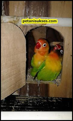 Kenapa lovebird jantan takut sama betina