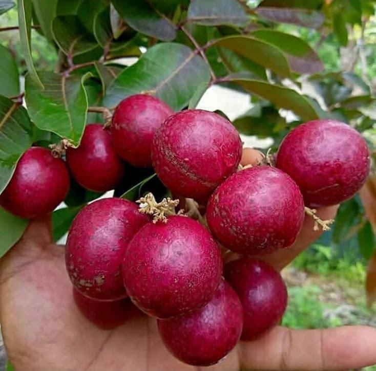 bibit kelengkeng merah Sumatra Barat