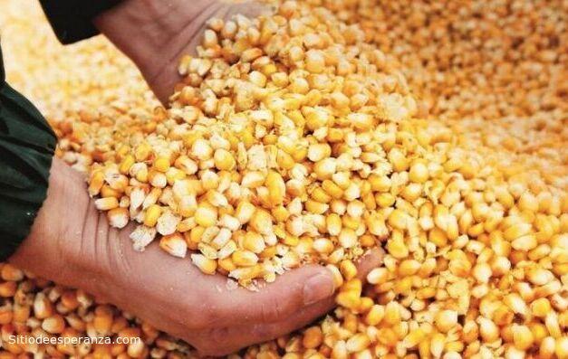 Cosecha de semillas de maíz