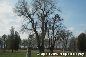 Стара тополя край парку в Підгірцях