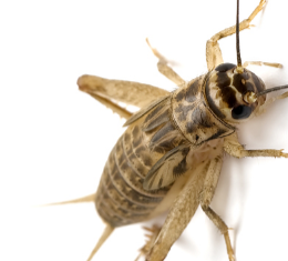 Bug sprays Super Easy Home Remedies To Get Rid of Crickets From Your Home (How to Kill Methods)