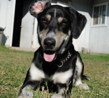 Cute Dogs: German Shepherd Lab Mix | 350 x 314 jpeg 44kB