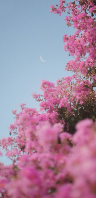 Pink flowers under the blue sky
