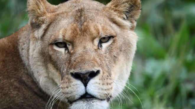 Lion kills woman in South African private game reserve